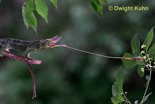 CH34-525z  Male Jackson's Chameleon or Three-horned Chameleon tongue flicking to catch insect prey, Chamaeleo jacksonii