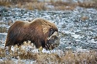 Male muskox in Atigun canyon, Brooks range, Alaska.