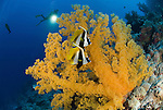 Two Masked Bannerfish, Heniochus monocerosin front of giant yellow soft coral with diver in background