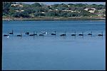 Black Swans Australia