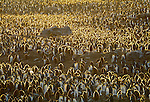 A large group of King Penguins on Royal Bay, South Georgia Island