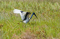 Black-necked Stork (Ephippiorhynchus asiaticus) foraging. The males of this species have a black iris; females have a yellow iris. (Cambodia)