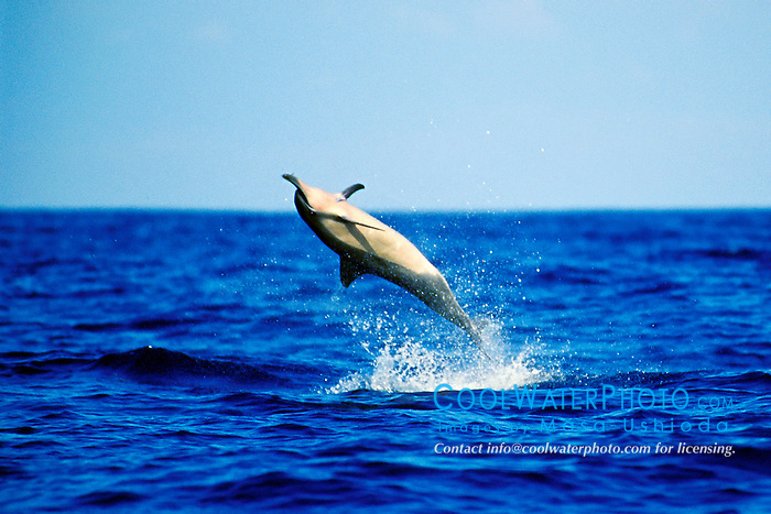 long-snouted spinner dolphin, leaping, Stenella longirostris, Kona, Big Island, Hawaii, Pacific Ocean