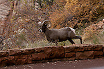 A giant Big Horn sheep on the road to Bryce Canyon National Park in the late fall.
