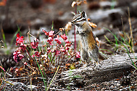 Standing Chipmunk on log