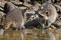 Raccoons touching noses along a pond - CA