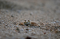 A small crab pops out of its hole to check the surroundings on Hideaways beach on Kauai.