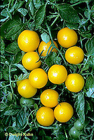 HS09-042b  Tomato - gold nugget variety