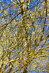 USA, California, San Diego County. Palo Verde Tree branches at Anza-Borrego Desert State Park. (intentional blur)