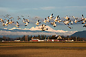 WA08131-00...WASHINGTON - Snow geese in flight over the  Fir Island section of the Skagit Wildlife Area with Mount Baker in the distance.