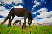 A couple of horses grazing near the bank of Tso Moriri lake in the village Korzok of Changthang region in Ladakh.