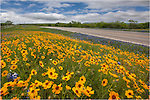 Along State Highway 71 outside of Llano, Texas, I found this field of golden Texas wildflowers dancing along the roadside.