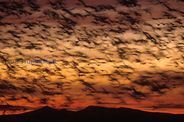 A large flock of Snow Geese in flight (Chen caerulescens), North America.