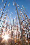 charleston, South, Carolina, pampas grass,lens flair