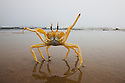 Namibia;  Namib Desert, Skeleton Coast, Northern Skeleton Coast National Park, ghost crab (Ocypode sp.)