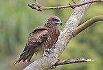 The Black Kite (Milvus migrans) is a medium-sized bird of prey in the family Accipitridae, frequently seen in Hong Kong.  Hong Kong's iconic bird, the Black Kite, can be seen over much of the island, roosting in cotton trees, roosting during a monsoon or soaring over the city.