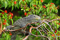 Crocodile Monitor (Varanus salvadorii) adult perched in branches, Papua New Guinea.