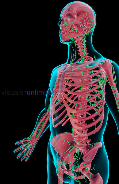 An anterolateral view (left side) of the lymph supply of the upper body. The surface anatomy of the body is semi-transparent and tinted blue. Royalty Free