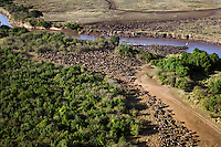 Aerial view of herd of Eastern White-bearded Wildebeest crossing the Mara River (Connochaetes taurinus), Maasai Mara National Reserve, Kenya.