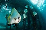 Golden spadefish (Platax boersii) gather under Arborek Jetty, Dampier Strait, Raja Ampat, Indonesia