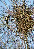 Elster, Altvogel am Nest, Pica pica, black-billed magpie