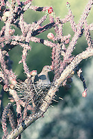 Morning Dove sits on the nest in a cholla cactus in southern Arizona.