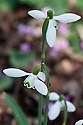 Pleated snowdrop (Galanthus plicatus), late February.