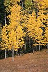 Autumn quaking aspen (Populus tremuloides), Pike National Forest, Colorado