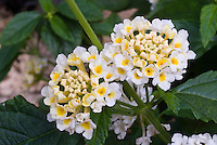 Lantana Chapel Hill Sunny Side Up, bicolor white and yellow annual flowers