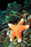 Milne Bay, Papua New Guinea; Cushion Star (Choriaster granulatus), Oreasteridae family, legs to 30 cm (12 in.) , Copyright © Matthew Meier, matthewmeierphoto.com All Rights Reserved