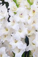 Gladiolus White Prosperity summer flowering bulb with white flowers gladioli