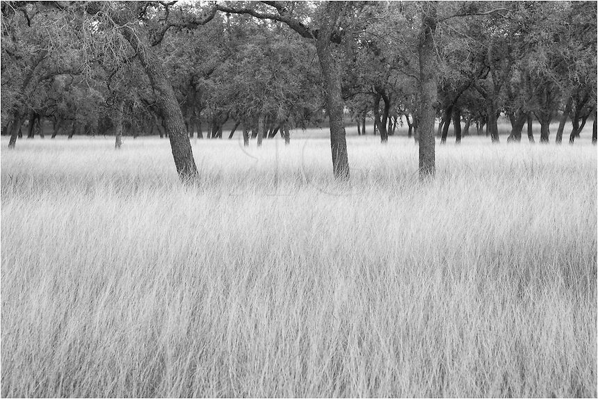 Afer a week of good rain, the grass grew tall in mid November. This photograph from Bandera County shows the winter grasses in black and white.