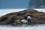 Seals resting on the rocky outcrop