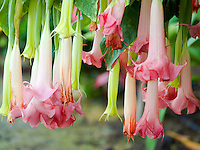 A cluster of pink angel's trumpet flowers in a Big Island garden.