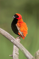 Southern Red Bishop (Euplectes orix), South Africa