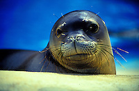 The endangered Hawaiian monk seal, latin name: monachus schauinslandi