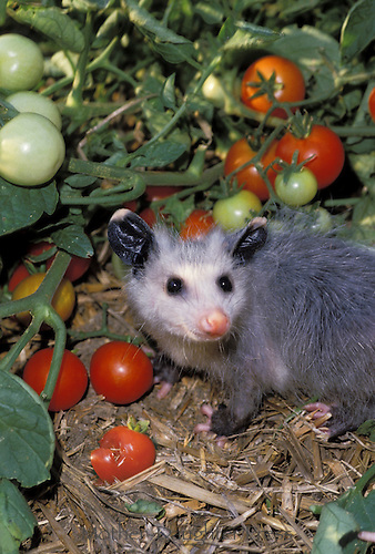 Young Opossom, Didelphis marsupialis, enjoying fresh tomatos from the garden, Midwest USA