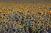 Field of Sunflowers Queensland