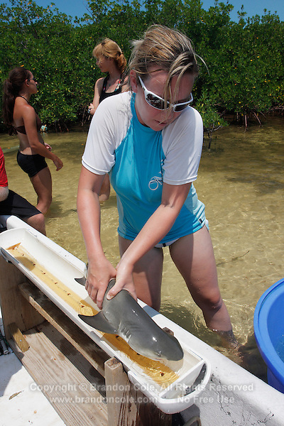 qa70863-D. marine biologist from Bimini Biological Field Station measures baby Lemon Shark (Negaprion brevirostris) captured in mangroves. Bahamas, Atlantic Ocean..Photo Copyright © Brandon Cole. All rights reserved worldwide.  www.brandoncole.com..This photo is NOT free. It is NOT in the public domain. This photo is a Copyrighted Work, registered with the US Copyright Office. .Rights to reproduction of photograph granted only upon payment in full of agreed upon licensing fee. Any use of this photo prior to such payment is an infringement of copyright and punishable by fines up to  $150,000 USD...Brandon Cole.MARINE PHOTOGRAPHY.http://www.brandoncole.com.email: brandoncole@msn.com.4917 N. Boeing Rd..Spokane Valley, WA  99206  USA.tel: 509-535-3489