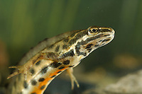 Close up of a male Smooth Newt (Triturus vulgaris) swimming underwater.