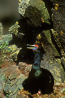 512050361 a wild red-faced cormorant phalacrocoras urile perches on a nest with a chcik  on a rocky ledge on saint george island in the pribilof islands off southwest alaska in the bering sea