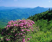 Catawba Rhododendron and distant Plott Balsam Mountains, Nantahala National Forest from  Blue Ridge Parkway, North Carolina, USA.