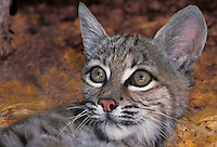 611009001 a portrait of a young bobcat felis rufus that is a wildlife rescue animal