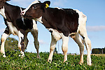 2011 Dairy Cattle