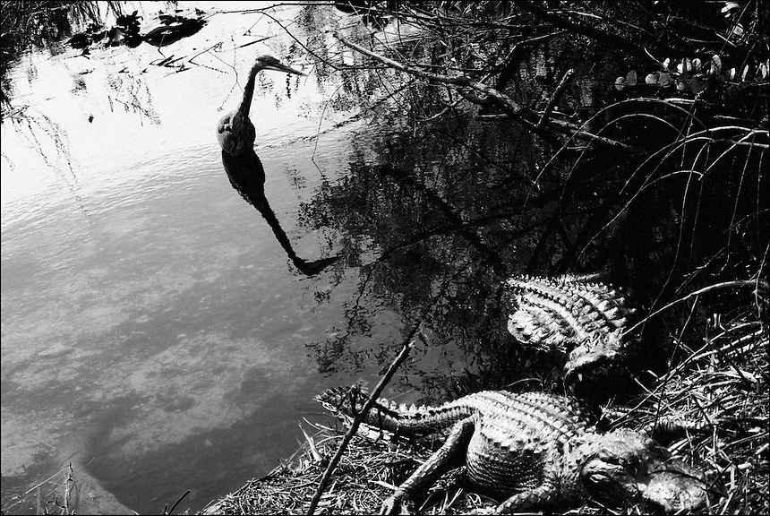Everglades<br /> From &quot;In the Wild&quot; series. Florida Everglades, 2010