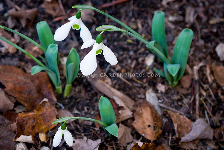 Snowdrops Galanthus elwesii var monostictus in autumn bloom, species snow drops flowering bulb