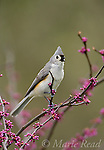 Tufted Titmouse (Baeolophus bicolor) singing, perched in flowering eastern redbud in spring, New York, USA