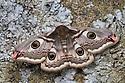 Emperor moth female {Saturnia pavonia} Peak District National Park, UK. May.