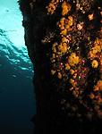 Orchid Island, Taiwan -- Soft coral polyps on a reef wall.