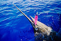 blue marlin, Makaira nigricans ( or Indo-Pacific blue marlin, Makaira mazara ), hooked on Hawaiian Jet Lure, off Kona Coast, Big Island, Hawaii, USA, Pacific Ocean